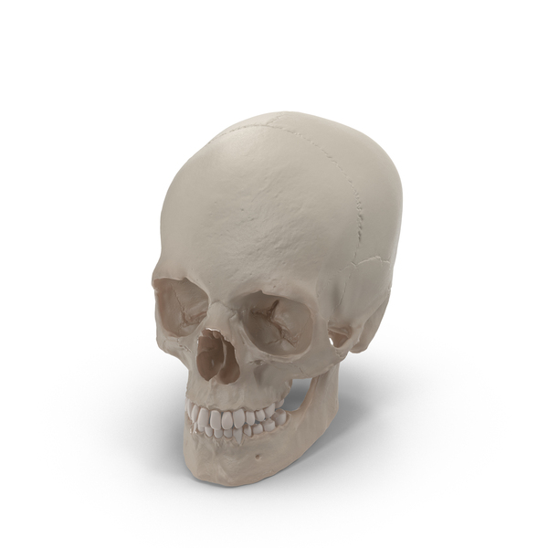 Human Skull Object